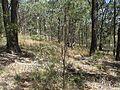 Melaleuca linearifolia habit.jpg