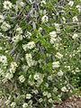 Melaleuca steedmanii CHCH 1.JPG