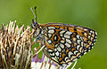 Melitaea athalia-wiki.jpg