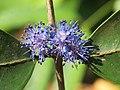 Memecylon umbellatum flowers at Peravoor (28).jpg