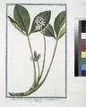Menyanthes palustre, latifolium, et triphhyllum - Meniante (NYPL b14444147-1125016).tiff