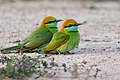 Merops orientalis ferrugeiceps - Surin.jpg