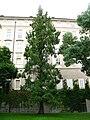 Metasequoia glyptostroboides Praha.JPG