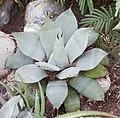 Mezcal (Agave parryi), Conservatorio botánico, Fort Wayne, Indiana, Estados Unidos, 2012-11-12, DD 01.jpg