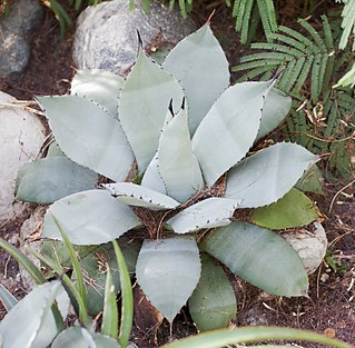 <i>Agave parryi</i> species of plant