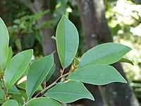 Michelia compressa leaves