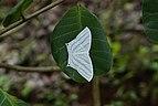 Micronia aculeata 9075.jpg