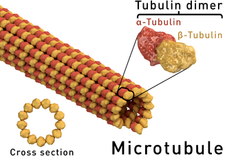 Microtubule - Structure of a microtubule. The ring shape depicts a microtubule in cross-section, showing the 13 protofilaments surrounding a hollow center.