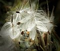 Milkweed-seed-pods-seeds-follicles-170603.jpg