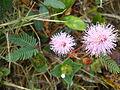 Mimosa Pudica Linn-Flower.jpg