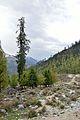 Mixed Trees - Solang Valley - Kullu 2014-05-10 2593.JPG