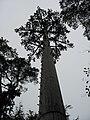 Mobile phone tree - geograph.org.uk - 1236027.jpg