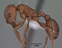 Monomorium subopacum casent0010951 head 1.jpg