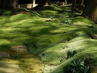 Moss lawn lawn composed of moss
