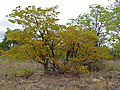 Mopane (Colophospermum mopane) with young leaves and Lucky Bean Creeper (Abrus precatorius) (11587248693).jpg