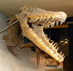 Mosasaurini - Skeleton of Mosasaurus (front view) in the Maastricht Natural History Museum.
