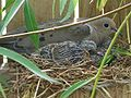 Mourning Dove Nesting 20060630.JPG