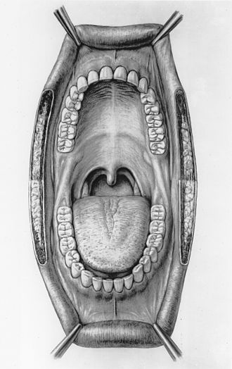 Frenulum of lower lip - Mouth illustration (frenulum of lower lip visible at center bottom.)