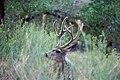 Mule Deer (6550982535).jpg