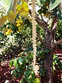 Munroidendron racemosum (National Tropical Botanical Garden, Kauai, Hawaii).JPG
