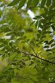 Murraya koenigii - Indian Botanic Garden - Howrah 2013-03-31 5739.JPG