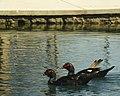 Muscovy Ducks (142577513).jpeg
