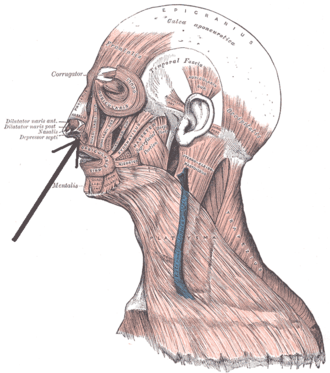 Depressor septi nasi muscle - Muscles of the head, face, and neck.