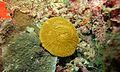 Mushroom Coral (Fungia sp.) (6127135997).jpg