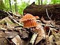Mushrooms! Mill Trail Umstead NC SP 4242 (6641403649) (2).jpg