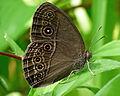 Mycalesis 4 by Kadavoor-2.jpg