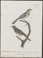 Myiagra azurea - 1796-1808 - Print - Iconographia Zoologica - Special Collections University of Amsterdam - UBA01 IZ16500115.tif