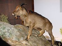 Myotragus balearicus.JPG