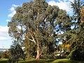 Myrtales - Eucalyptus dalrympleana 10.jpg
