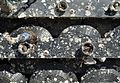 Mytilidae and barnacles on rubber fender mats.jpg