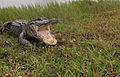 NASA Kennedy Wildlife - Alligator Hi Spread.jpg