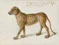 NL-HlmNHA 53004667 Jaguar.tif
