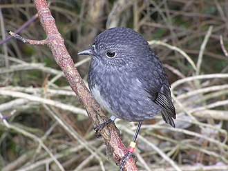 North Island robin - Standing perfectly still on a perch awaiting prey