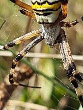 Nahaufnahme einer Wespenspinne.jpg