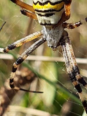Argiope bruennichi - Close shot of a wasp spider