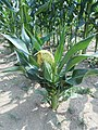 Nana1-1 mutant of maize.JPG