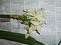 Narcissus tazetta L. (AM AK297182-1).jpg