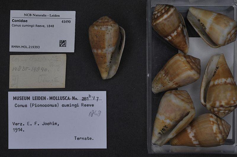 Conus (Rhizoconus) cumingii Reeve, 1848 800px-Naturalis_Biodiversity_Center_-_RMNH.MOL.219393_-_Conus_cumingii_Reeve%2C_1848_-_Conidae_-_Mollusc_shell