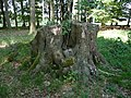 Naturdenkmal Siebenstämmige Buche Ostenfelde Melle - Datei 2.jpg
