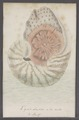 Nautilus spec. - - Print - Iconographia Zoologica - Special Collections University of Amsterdam - UBAINV0274 091 03 0016.tif