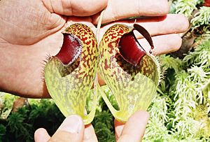 Nepenthes aristolochioides - A pitcher of N. aristolochioides in longitudinal section, showing the broad, incurved peristome and extensive glandular region