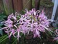 Nerine filifolia1.jpg