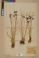 Neuchâtel Herbarium - Juncus jacquinii - NEU000044961.jpg