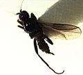 Ngaheremyia fuscipennis.jpg