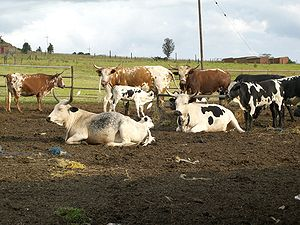 The Anti-Politics Machine - South African cattle breed