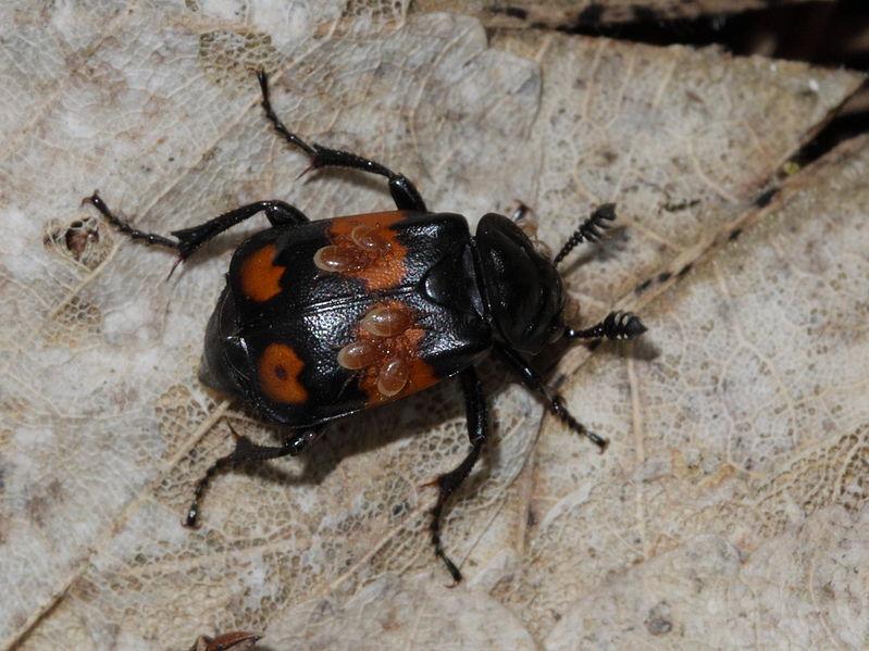 File:Nicrophorus vespillioides - Schwarzhörniger Totengräber (9727222089).jpg